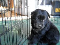 Fluffy is an adoptable Labrador Retriever Dog in Charlotte, NC. Fluffy is a cute puppy and is the only curly haired puppy in the litter. There are 4 females and 1 male. Fluffy was found with her litte...