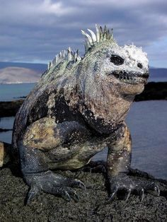 The Marine Iguana is the only lized in the world can live and eat in the sea. The Galapagos marine iguana is among the most unusual creatures of the world. Galapagos Islands, Rare Animals, Animals And Pets, Funny Animals, Reptiles Et Amphibiens, Mammals, Animals Crossing, Big Lizard, Big Dogs