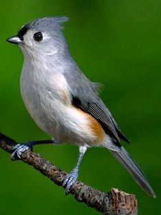 Tufted Titmouse  Baeolophus bicolor