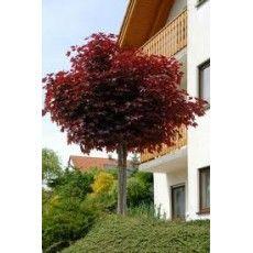 Rode bolesdoorn op stam