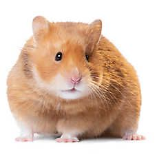 Small Pets For Sale Hamsters Gerbils Mice More Petsmart In 2020 Small Pets Hamster Pets For Sale