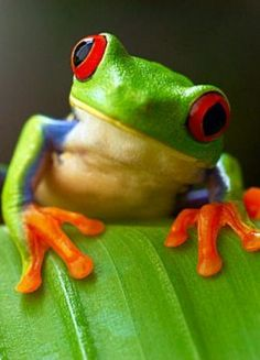 American Green Red Eyed Tree Frog | The Cutest Animals (Grown Up & No Threat to Humans) Red-Eyed Tree Frog