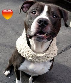 SUPER URGENT Manhattan Center TROY – A1057255 MALE, BLACK / WHITE, AM PIT BULL TER MIX, 9 yrs OWNER SUR – EVALUATE, NO HOLD Reason PERS PROB Intake condition EXAM REQ Intake Date 11/08/2015 http://nycdogs.urgentpodr.org/troy-a1057255/
