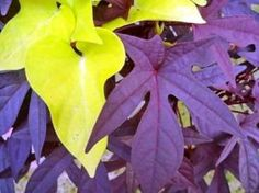 Ornamental sweet potato vine (Ipomoea batatas) is a great addition to container gardens.  It typically has either impressive lime-green, heart shaped leaves or dark wine, cut-leaf foliage (there are new varieties too).  I haven't tried this, but I read that the tubers can be lifted from the pots to overwinter for next year. Pull them gently out of the  pot & store tubers during winter.  In the spring, you're supposed to be able to plant the tubers with your annuals and have them re-sprout.