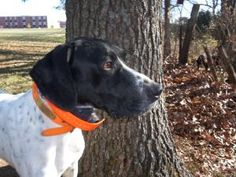 *Junior is an #adoptable German Shorthaired Pointer Dog in #StLouis #MISSOURI  COME MEET *JUNIOR ON 1/20/13 FROM 10-2PM AT THE CHESTERFIELD, MO PETSMART! Junior is a beautiful black & white purebred GSP who...