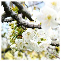 I ciliegi in fiore Fruit, Garden, Garten, Gardens, Tuin, Yard