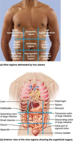 Weddings: Many internal organs lie in membrane-lined bod. The post Many internal organs lie in membrane-lined body cavities: Human Anatomy and Physiology appeared first on Bobby Jivnani DDS . Human Body Anatomy, Human Anatomy And Physiology, Body Anatomy Organs, Anatomy Of The Body, Muscle Anatomy, Massage Corps, Nursing School Notes, Nursing Schools, Radiology Schools