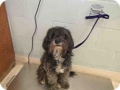 Rancho Cucamonga, CA - Toy Poodle/Miniature Schnauzer Mix. Meet UNKNOWN, a dog for adoption. http://www.adoptapet.com/pet/17277401-rancho-cucamonga-california-toy-poodle-mix