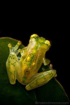 Glass frog (Hyalinobatrachium ruedai). Choco, Columbia l  Robin Moore Wildlife Photography
