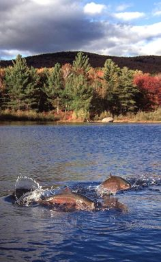 Pair of jumping rainbow trout Photo by Mark Chernok Trout Fishing Tips, Sea Fishing, Gone Fishing, Fishing Hole, Fish Tales, Fishing Photography, Fishing Pictures, Fishing Adventure, Fish Camp