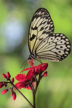 Rice Paper Butterfly (By Frank Townsley)