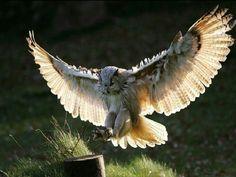 Owl landing.
