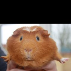 Max. Our gorgeous ginger guinea pig!
