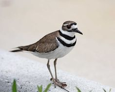 Killdeer They look so exotic but have a large range. I love watching them.