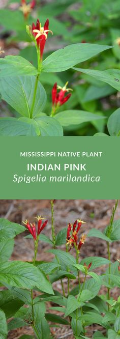 Indian Pink (Spigelia marilandica) has bright, tubular flowers that provide nectar for hummingbirds, bees, and butterflies. It is deer resistant and perfect for dry, shady conditions in your garden. Trees And Shrubs, Trees To Plant, Cash Crop, Deer Resistant Plants, Pink Plant, Garden Borders, Native Plants, My Flower, Wild Flowers