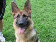 """""""VERONICA"""">>>PITTSBURGH, PA>>>VERONICA is an adoptable German Shepherd Dog Dog in Pittsburgh, PA. Hi! Thanks for giving me some attention! I'd like you to know that I'm up to date on all my shots, microchipped, and I've already be..."""