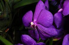 Blue Vanda hybrid - Flickr - Photo Sharing!