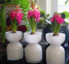 Forcing hyacinths to bloom inside