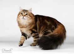 My youngest cat Joona is siberian cat. Gorgeus boy, his colour is golden classic tabby.