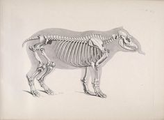 Skeleton of a South American tapir (Tapirus terrestris) by BioDivLibrary on Flickr. [Die vergleichende Osteologie /.Bonn :In Commission bei ...