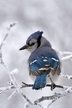 .Délicat petit oiseau bleu, si beau, et pourtant avec une vie si difficile. Aidez les oiseaux en hiver, ils ont faim et froid.