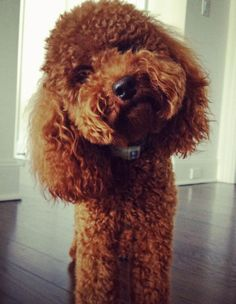 Ralphy the Miniature Poodle