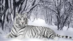 white tiger in snow!!!
