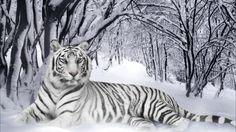 white tiger in snow!!!