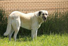 Anatolian Shepherd Dog  [Image source: @JonMountjoy via Flickr]