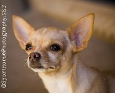 Chihuahuas...love them!  This looks just like my little Paco!  I know everyone doesn't agree with me, but I think God made all dogs gorgeous, and he made chihuahuas especially beautiful...and so, so cute.