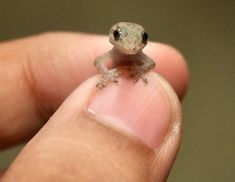 Smallest reptiles, a tiny Gecko.