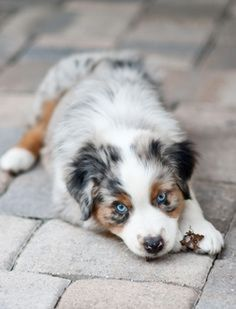 A list of facts about the Australian shepherd breed including temperament, history, and little-known interesting facts. #AustralianShepherd