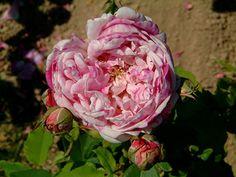 Honorine de Brabant - Rosa Borbonica