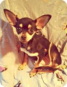 Fort Wayne, IN - Chihuahua Mix. Meet Gracie, a puppy for adoption. http://www.adoptapet.com/pet/17397873-fort-wayne-indiana-chihuahua-mix