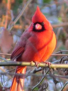 Red Robin perched on a branch in winter Kinds Of Birds, All Birds, Love Birds, Most Beautiful Birds, Pretty Birds, Beautiful Creatures, Animals Beautiful, Cardinal Birds, Mundo Animal