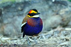 A Light In the Gloom: Banded Pitta - This is the Banded Pitta (Pitta guajana) and it only stands at around 8 inches tall. These guys are carnivorous birds that forage almost entirely in the underbrush of Thailand's forests.