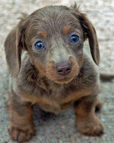 This is the reason I now have a mini dachshund.