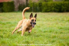 Belgian Malinois Laya running in the field