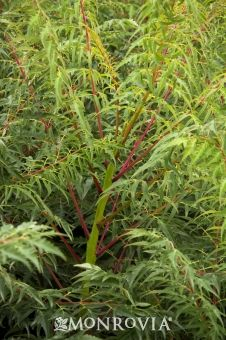 6-8' tall, container plant option, fall foliage  Monrovia's Cut-Leaf Smooth Sumac details and information. Learn more about Monrovia plants and best practices for best possible plant performance.