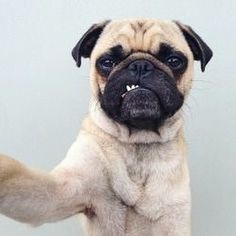 41 Reasons Why Pugs Are The Most Majestic Creatures On Earth <=== this is the truest thing I have ever read! Love my pug! Funny Dogs, Funny Animals, Cute Animals, Baby Animals, Pug Love, I Love Dogs, Raza Pug, Amor Pug, Dog Selfie
