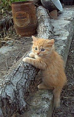 These cute kittens will brighten your day. Cats are incredible creatures. Pretty Cats, Beautiful Cats, Animals Beautiful, Gorgeous Gorgeous, Animals And Pets, Baby Animals, Cute Animals, Animals Images, Cute Cats And Kittens