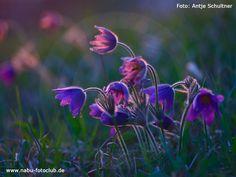 Violette Schönheit in Samt und Seide - Die Gemeine Küchenschelle - https://mecklenburg-vorpommern.nabu.de/tiere-und-pflanzen/pflanzen/10983.html