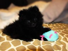 Black Pomeranian Puppy, I miss my Coco girl being this little!  From what I ca see-this canine would have about 60 % feline DNA. Since I'm a cat and know all about the species barrier I realize its all dog.  But it looks like an cat.