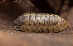 Crustacea (Crustáceo) - Classe Malacostraca, Subclasse Eumalacostraca (Ordem Isopoda)