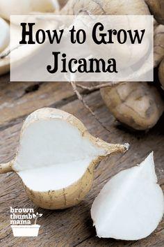 How to Grow Jicama | Brown Thumb Mama® Vegetable Garden Planning, Vegetable Garden For Beginners, Gardening For Beginners, Vegetable Gardening, Container Gardening, Gardening Tips, Growing Veggies, Growing Herbs, Diy Garden Projects