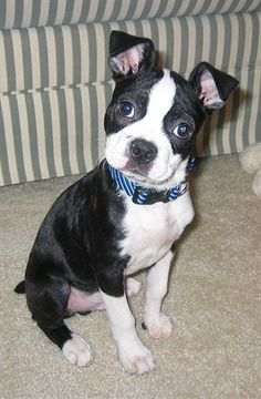 Bospin : Boston Terrier mixed with Min Pin whhhhhaaaattt?? This will be my next dog!