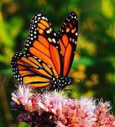 Nothing like the gorgeous monarch butterfly...