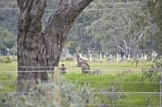 Family of Kangaroo's keeping an eye on River Estate