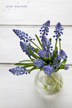 grape hyacinth or muscari All Flowers, Flowers Nature, My Flower, Fresh Flowers, Flower Power, Beautiful Flowers, Wedding Flowers, Blue Wedding, Floral Arrangements