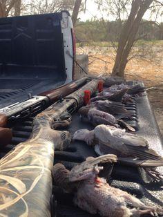 Hunting dove